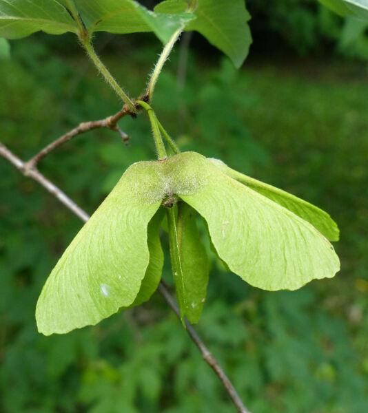Acer griseum (Franch.) Pax