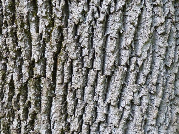 Fraxinus pennsylvanica Marshall