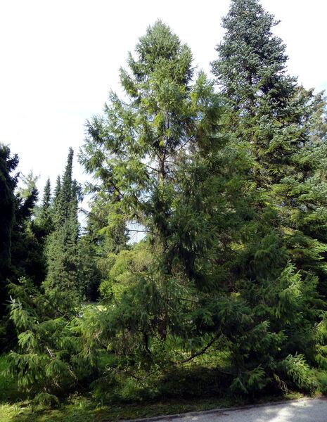 Picea brachytyla (Franch.) E.Pritz.