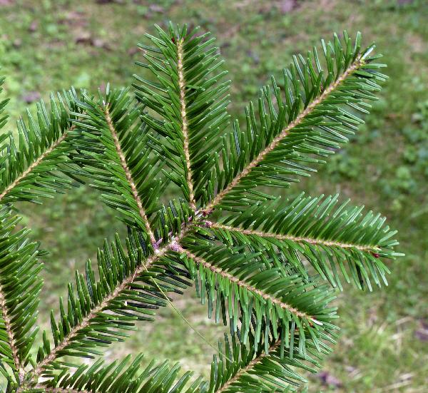 Abies veitchii Lindl.