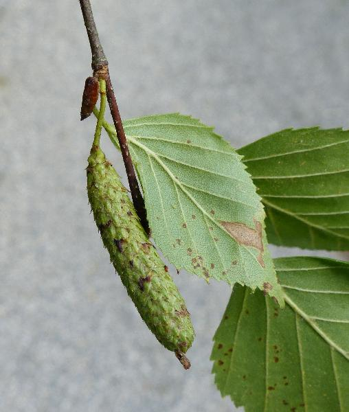 Betula × utahensis Britton