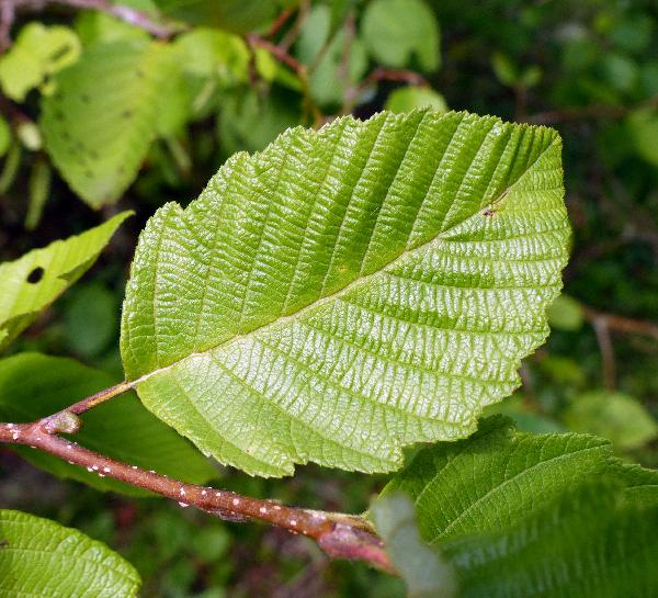 Alnus viridis (Chaix) DC. subsp. crispa (Aiton) Turrill