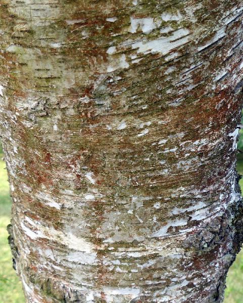 Betula pendula Roth 'Tristis'