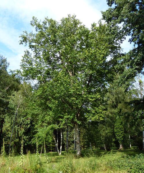 Betula maximowicziana Regel