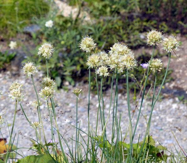 Allium saxatile M.Bieb.