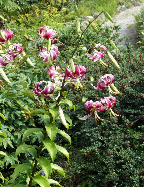 Lilium speciosum Thunb. 'Rubrum'