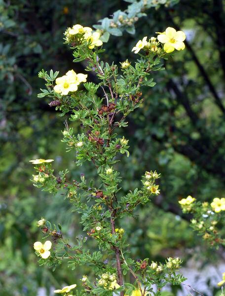Dasiphora fruticosa (L.) Rydb. 'Parvifolia'