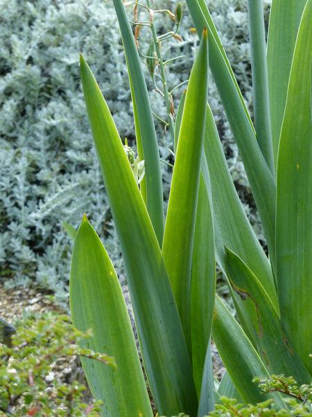 Galtonia viridiflora Verdc.
