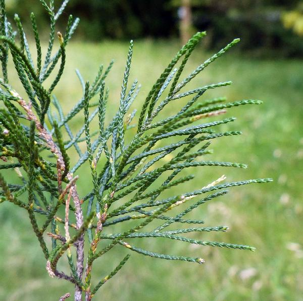 Juniperus virginiana L. 'Fastigiata'