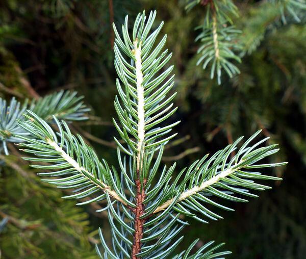 Picea alcoquiana (H.J.Veitch ex Lindl.) Carrière