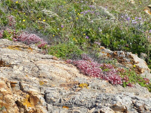 Sedum album L. subsp. micranthum (Bast. ex DC.) Syme