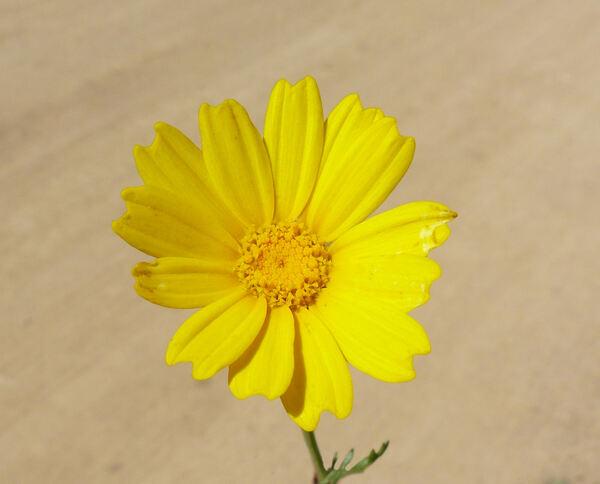 Cota tinctoria (L.) J.Gay subsp. tinctoria