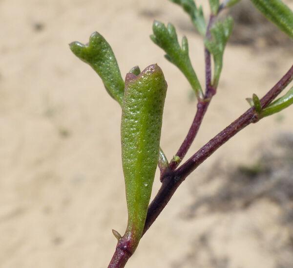 Anthemis maritima L. subsp. maritima