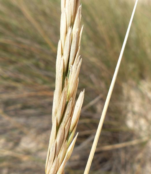 Calamagrostis arenaria (L.) Roth subsp. arundinacea (Husn.) Banfi, Galasso & Bartolucci