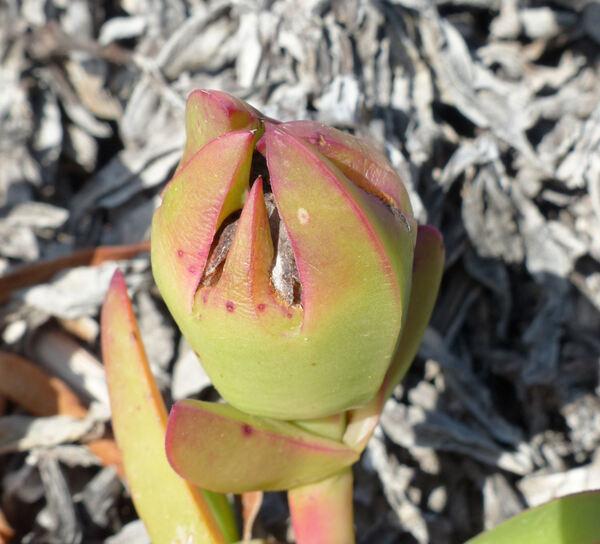 Carpobrotus acinaciformis (L.) L.Bolus