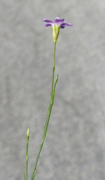 Petrorhagia saxifraga (L.) Link