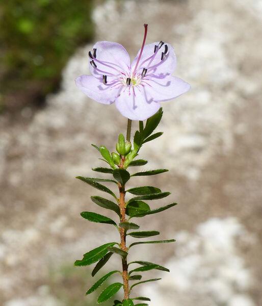 Rhodothamnus chamaecistus (L.) Rchb.