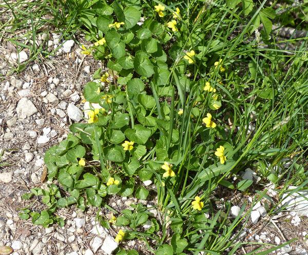Viola biflora L.