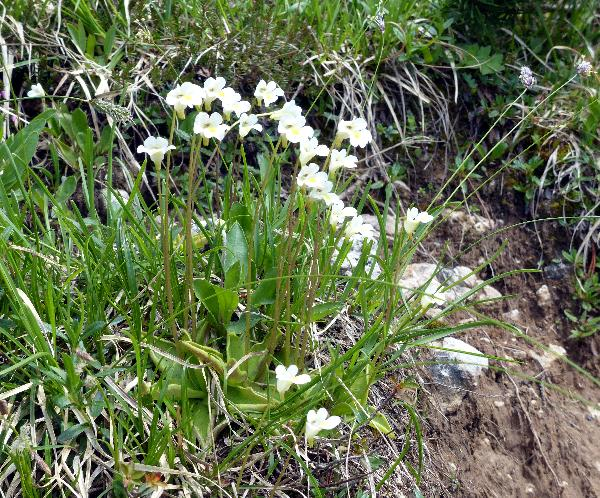 Pinguicula alpina L.