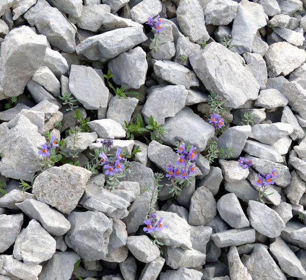 Linaria alpina (L.) Mill.