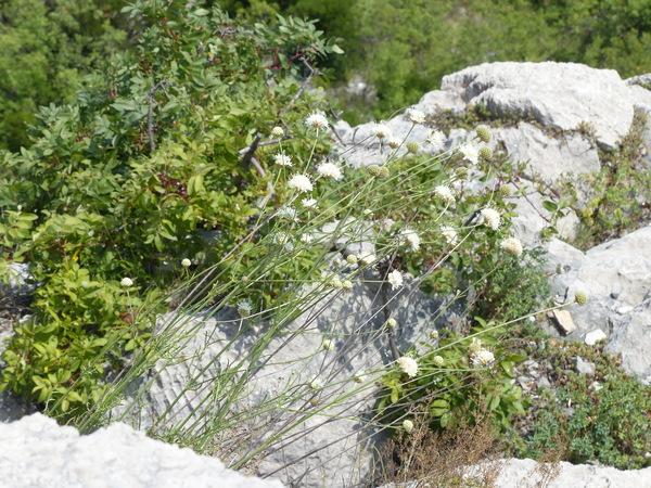 Cephalaria leucantha (L.) Roem. & Schult.
