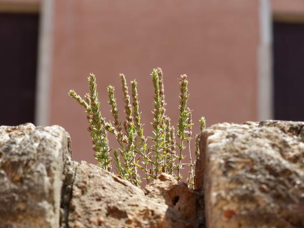 Micromeria juliana (L.) Benth. ex Rchb.