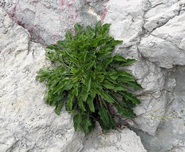 Campanula pyramidalis L.