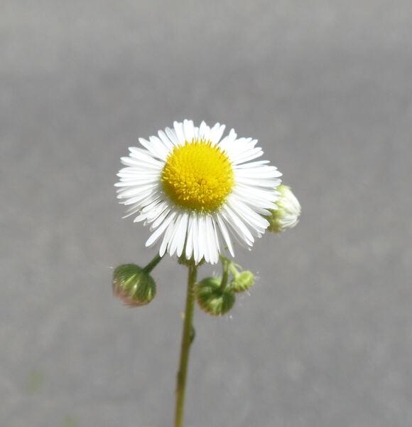 Erigeron annuus (L.) Desf.