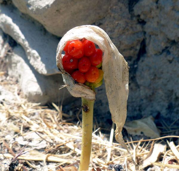 Arum maculatum L.