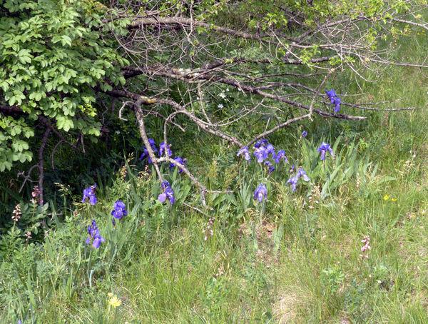 Iris cengialti Ambrosi ex A.Kern. subsp. illyrica (Asch. & Graebn.) Poldini