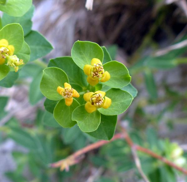 Euphorbia fragifera Jan