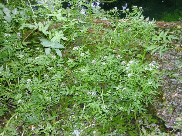 Berula erecta (Huds.) Coville