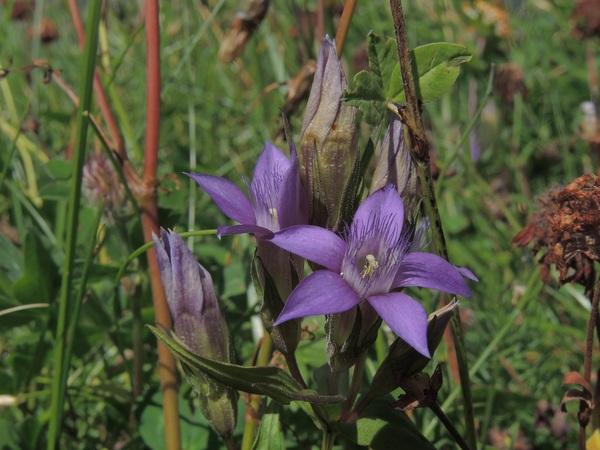 Gentianella rhaetica (A.Kern. & Jos.Kern.) Á.Löve & D.Löve