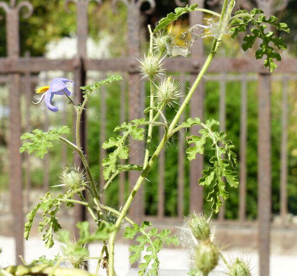 Solanum citrullifolium A.Braun