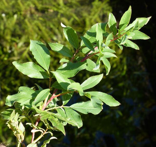 Rosa palustris Marshall