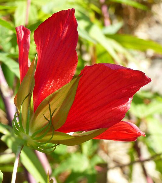 Hibiscus coccineus Walt.
