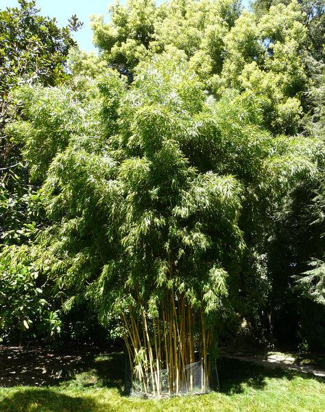 Phyllostachys aurea Carrière ex Rivière & C.Rivière