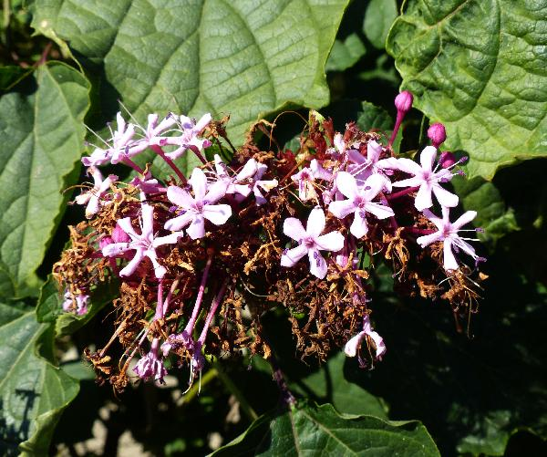 Clerodendrum bungei Steud.