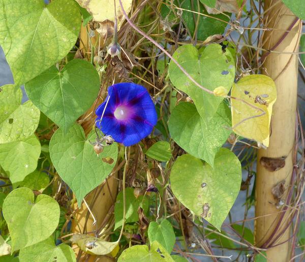 Ipomoea purpurea (L.) Roth