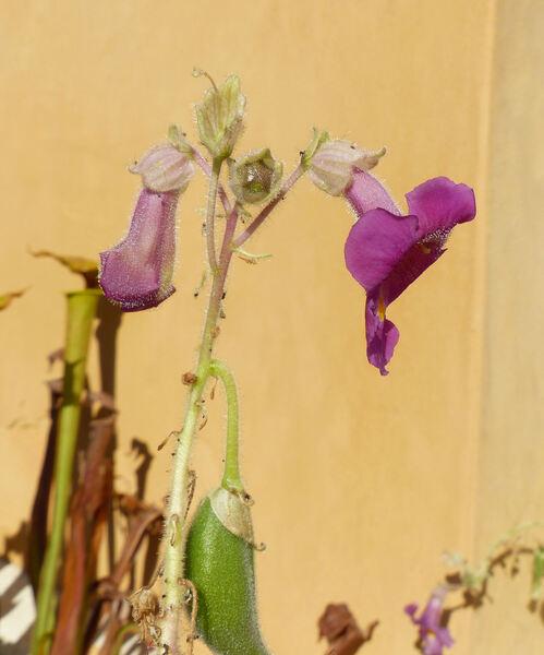 Proboscidea louisiana (Mill.) Thell.