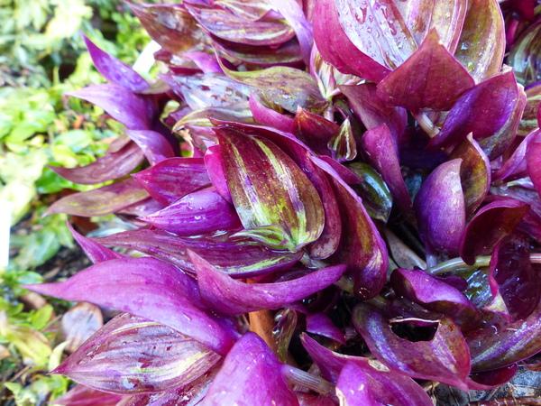 Tradescantia zebrina Heynh. ex Bosse 'Purpurea'