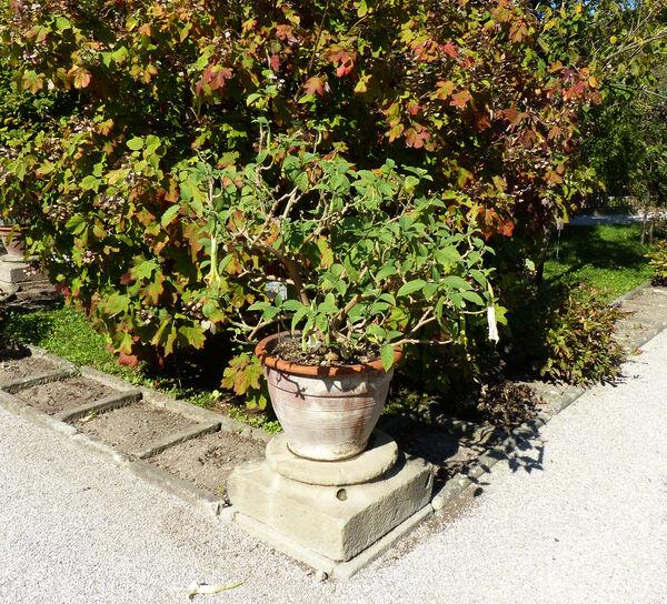 Brugmansia arborea Lagerh.
