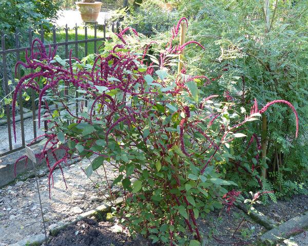Amaranthus hybridus L. subsp. caudatus (L.) Iamonico & Galasso