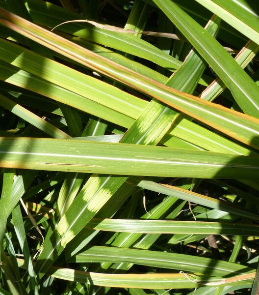 Miscanthus sinensis Andersson 'Zebrinus'