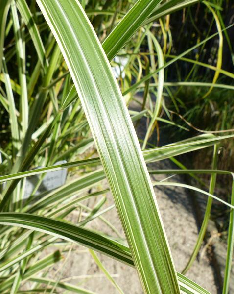Miscanthus sinensis Andersson 'Albolineatus'