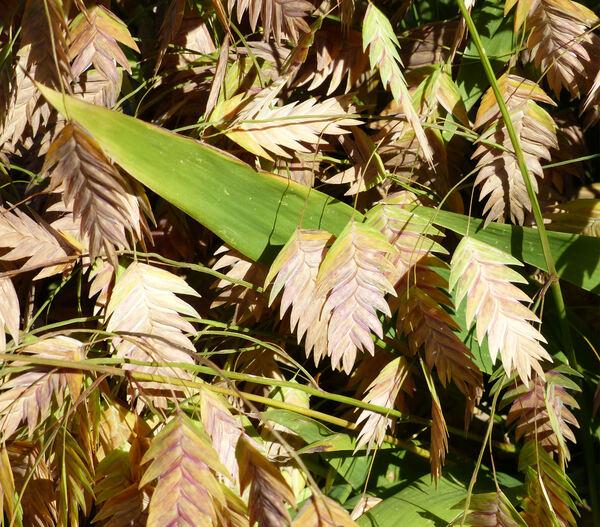 Chasmanthium latifolium (Michx.) Yates