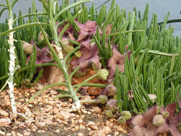 Stapelia grandiflora Curtis
