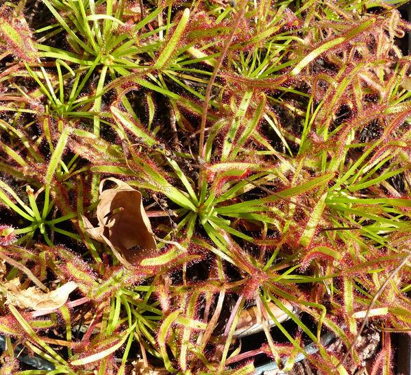 Drosera capensis L.