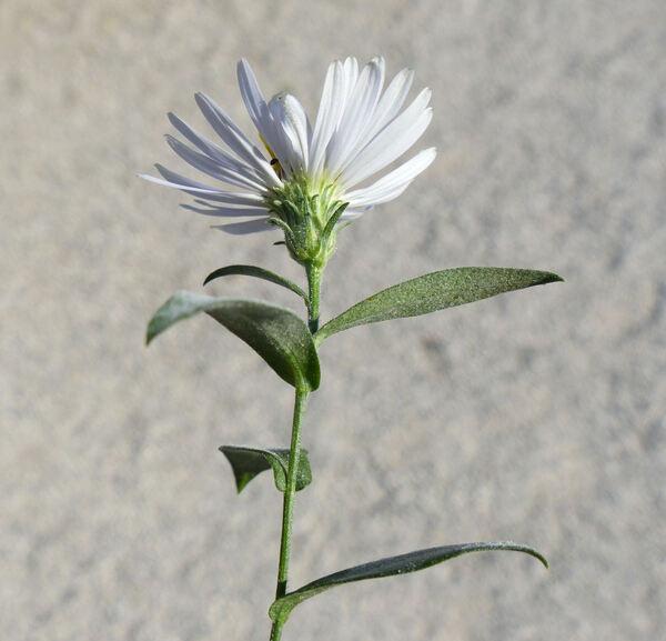 Symphyotrichum foliaceum (Lindl. ex DC.) G.L. Nesom
