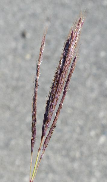 Bothriochloa ischaemum (L.) Keng